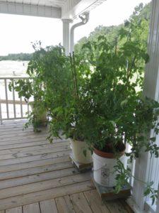 Image of tomato vines
